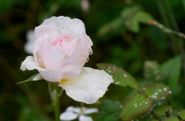 雨にさく薔薇