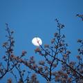 写真: 桜と月