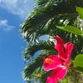写真: いつでも咲いているハイビスカスさんなのです^^