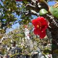 写真: お地蔵様と木瓜