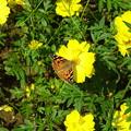 写真: 黄色いコスモスと蝶