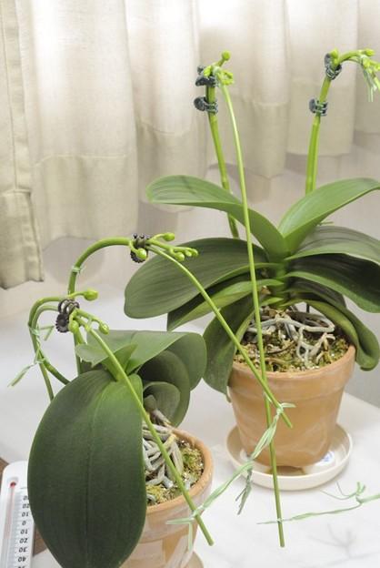 胡蝶蘭の支柱