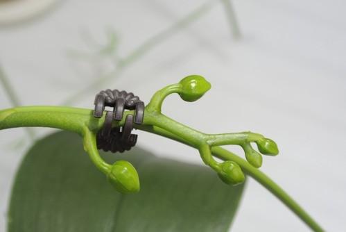 胡蝶蘭のつぼみ