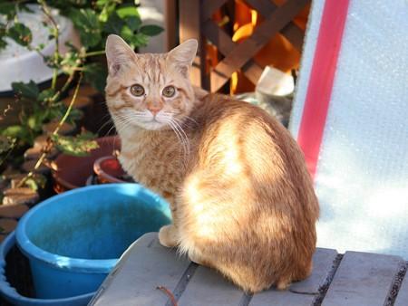2008年11月11日の茶トラのボクちん(4歳)