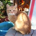 Photos: 2008年11月11日の茶トラのボクちん(4歳)