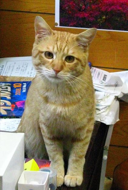 2008年11月13日の茶トラのボクちん(4歳)