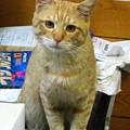 写真: 2008年11月13日の茶トラのボクちん(4歳)