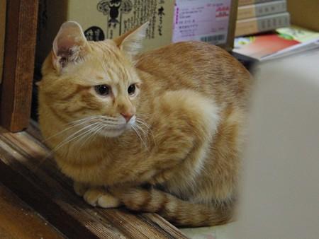2008年11月24日の茶トラのボクちん(4歳)