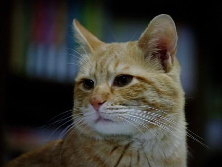 2008年12月01日の茶トラのボクちん(4歳)