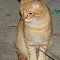 写真: 2008年11月03日の茶トラのボクちん(4歳)