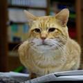 写真: 2010年12月31日の茶トラのボクチン(6歳)