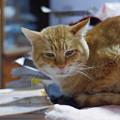写真: 2010年01月06日の茶トラのボクチン(5歳)
