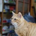 写真: 2011年01月06日の茶トラのボクチン(6歳)
