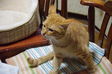 2011年01月08日の茶トラのボクチン(6歳)