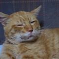 写真: 2010年01月21日の茶トラのボクチン(5歳)