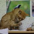 写真: 2011年01月23日の茶トラのボクチン(6歳)