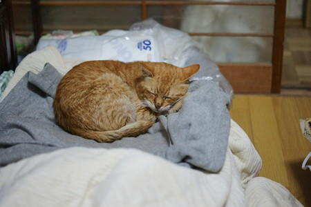 2012年01月23日の茶トラのボクチン(7歳)