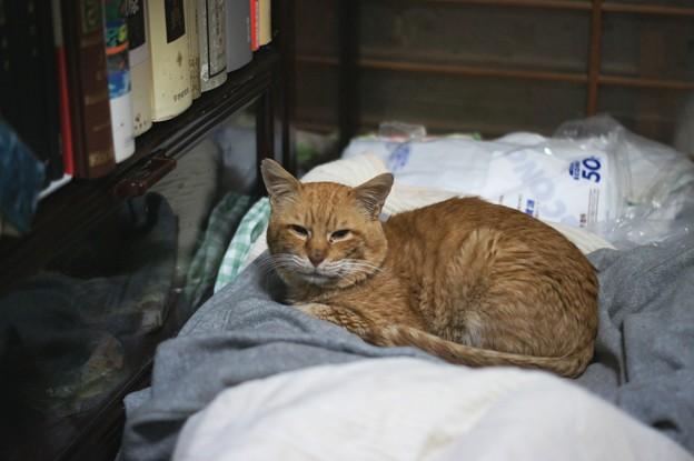 写真: 2012年01月23日の茶トラのボクチン(7歳)