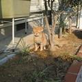 写真: 2007年02月05日の茶トラのボクチン(2歳)