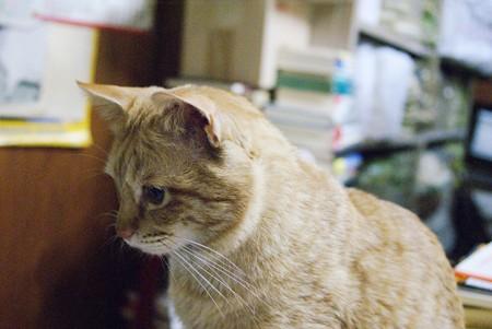 2009年02月09日の茶トラのボクチン(4歳)