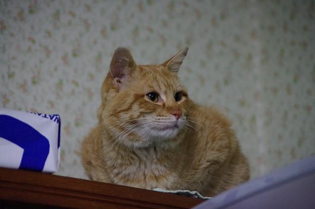 写真: 2009年02月20日の茶トラのボクチン(4歳)
