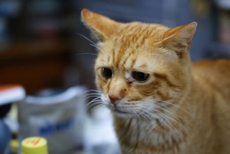 2011年02月20日の茶トラのボクチン(6歳)