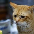 写真: 2011年02月20日の茶トラのボクチン(6歳)