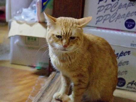 2011年02月24日の茶トラのボクチン(6歳)