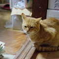 写真: 2011年02月24日の茶トラのボクチン(6歳)