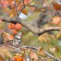 写真: いつのまにやら冬鳥さんが♪ツグミんさん到着です^^