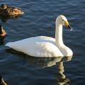 大沼公園 白鳥4