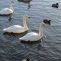 大沼公園 白鳥6