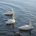 大沼公園 白鳥11