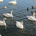 大沼公園 白鳥12