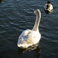 大沼公園 白鳥13