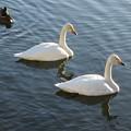 大沼公園 白鳥18