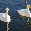 大沼公園 白鳥20