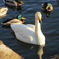 大沼公園 白鳥21
