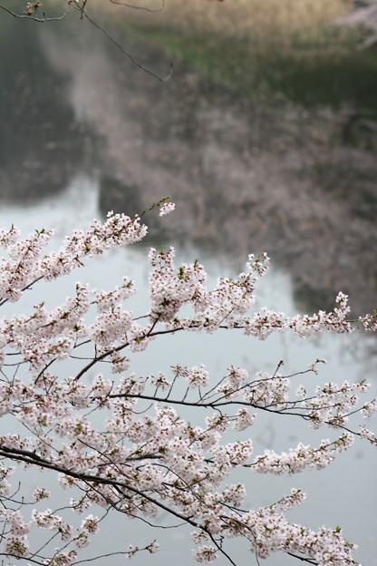 Photos: お濠の桜