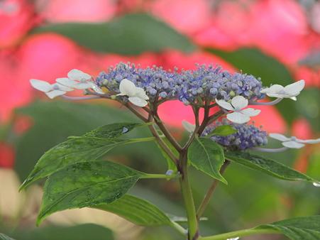 紫陽花と名鉄電車