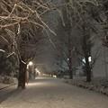 いつもの銀杏並木も雪あかりで明るいね