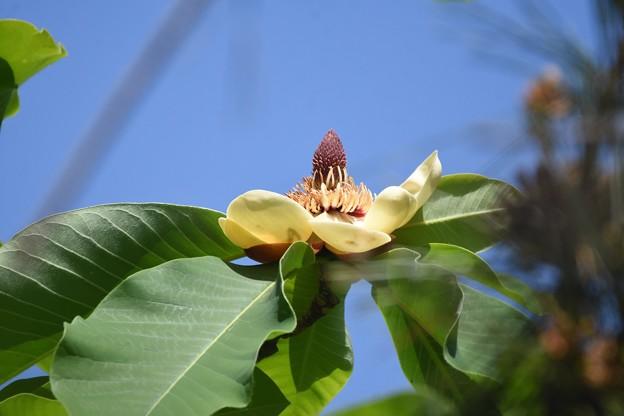 朴ノ木の花