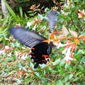 Photos: 黒い蝶