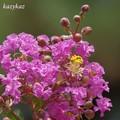 Photos: 蜂花