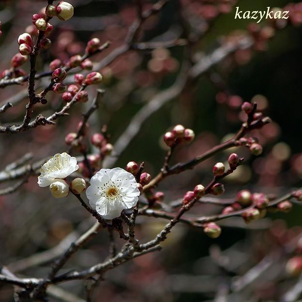 写真: 成田の白梅
