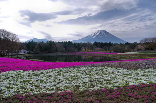 写真: 芝桜富士1