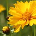 金鶏菊 (きんけいぎく)・・花びらが年々多くなるような