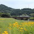 金鶏菊 (きんけいぎく)とおれんじ鉄道