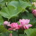 大雨で花びらもダメージ