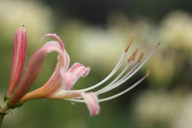 ピンク彼岸花